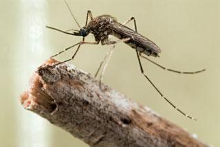mosquito_320