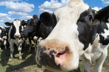 cow-184614299_370